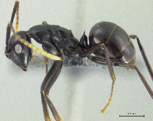 (Polyrhachis lombokensis - PK-EE129)  @15 [ ] CreativeCommons - Attribution Non-Commercial Share-Alike (2011) Milan Janda Czech Academy of Sciences