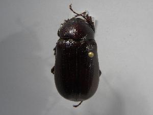 (Phyllophaga schizorhina - INB0003036540)  @11 [ ] Copyright (2010) A. Sol's Instituto Nacional de Biodiversidad