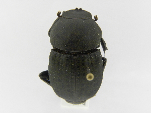 (Megathoposoma - INB0003051109)  @14 [ ] Copyright (2010) A. Solis Instituto Nacional de Biodiversidad