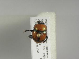 (Canthon cyanellus - INB0003053108)  @13 [ ] Copyright (2010) A. Sol's Instituto Nacional de Biodiversidad