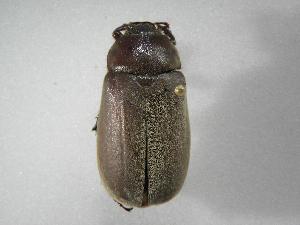 (Phyllophaga gigantea - INB0003078618)  @14 [ ] Copyright (2010) A. Solis Instituto Nacional de Biodiversidad