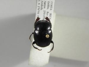 (Canthon aequinoctialis - INB0003086981)  @13 [ ] Copyright (2010) A. Sol's Instituto Nacional de Biodiversidad