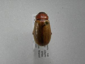 (Phyllophaga lorencita - INB0003102172)  @11 [ ] Copyright (2010) A. Solis Instituto Nacional de Biodiversidad