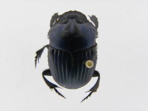 (Oxysternon - INB0003168376)  @14 [ ] Copyright (2010) A. Solis Instituto Nacional de Biodiversidad