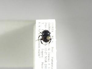 (Canthon subhyalinus - INB0003173709)  @11 [ ] Copyright (2010) A. Solis Instituto Nacional de Biodiversidad