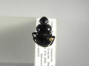 (Canthon indigaceus - INB0003303603)  @13 [ ] Copyright (2010) A. Solis Instituto Nacional de Biodiversidad