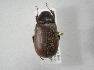 (Phyllophaga guapiles - INB0003335808)  @11 [ ] Copyright (2010) A. Solis Instituto Nacional de Biodiversidad