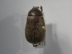 (Phyllophaga setidorsis - INB0003335885)  @14 [ ] Copyright (2010) A. Sol's Instituto Nacional de Biodiversidad