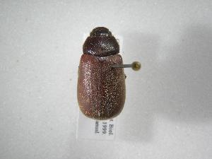 (Phyllophaga guapiles - INB0003335934)  @11 [ ] Copyright (2010) A. Solis Instituto Nacional de Biodiversidad