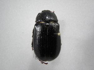 (Phyllophaga boruca - INB0003336097)  @11 [ ] Copyright (2010) A. Solis Instituto Nacional de Biodiversidad