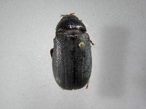 (Phyllophaga hemilissa - INB0003337390)  @14 [ ] Copyright (2010) A. Solis Instituto Nacional de Biodiversidad