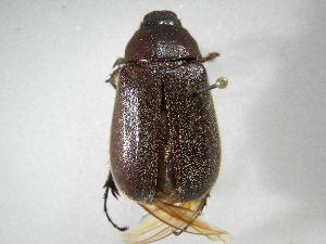 (Phyllophaga densata - INB0003338134)  @11 [ ] Copyright (2010) A. Solis Instituto Nacional de Biodiversidad