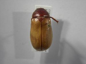 (Phyllophaga prolixa - INB0003338227)  @11 [ ] Copyright (2010) A. Solis Instituto Nacional de Biodiversidad