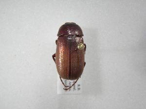 (Phyllophaga guapilana - INB0003420507)  @11 [ ] Copyright (2010) A. Solis Instituto Nacional de Biodiversidad
