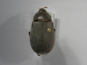 (Phyllophaga setifera - INB0003420678)  @14 [ ] Copyright (2010) A. Solis Instituto Nacional de Biodiversidad