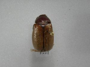 (Phyllophaga morganella - INB0003500539)  @14 [ ] Copyright (2010) A. Solis Instituto Nacional de Biodiversidad