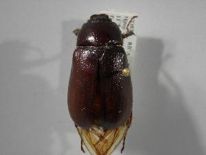(Phyllophaga orosina - INB0003560419)  @11 [ ] Copyright (2010) A. Solis Instituto Nacional de Biodiversidad