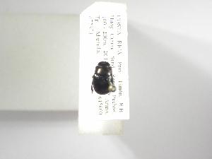 (Ateuchus candezei - INB0003573184)  @11 [ ] Copyright (2010) A. Solis Instituto Nacional de Biodiversidad
