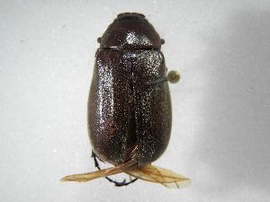 (Phyllophaga densata - INB0003849361)  @11 [ ] Copyright (2010) A. Solis Instituto Nacional de Biodiversidad