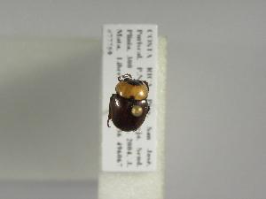 (Canthon moniliatus - INB0003862900)  @12 [ ] Copyright (2010) A. Solis Instituto Nacional de Biodiversidad