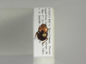 (Canthon angustatus - INB0003872488)  @13 [ ] Copyright (2010) A. Sol's Instituto Nacional de Biodiversidad