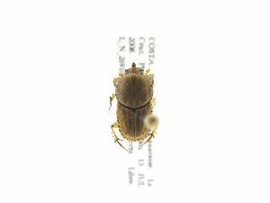(Euoniticellus - INB0004155712)  @12 [ ] Copyright (2010) A. Solis Instituto Nacional de Biodiversidad