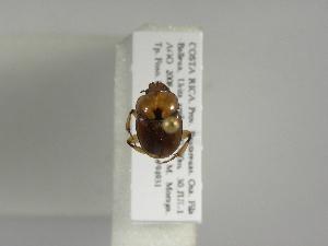 (Canthon angustatus - INB0004179301)  @13 [ ] Copyright (2010) A. Sol's Instituto Nacional de Biodiversidad