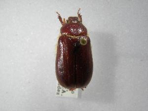 (Phyllophaga guayabillosa - INBIOCRI000178057)  @13 [ ] Copyright (2010) A. Solis Instituto Nacional de Biodiversidad