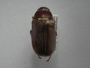 (Phyllophaga lissopyge - INBIOCRI000409584)  @13 [ ] Copyright (2010) A. Solis Instituto Nacional de Biodiversidad