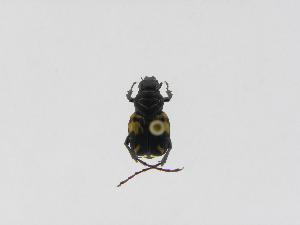 (Trigonopeltastes sp. 12 - INBIOCRI000411064)  @12 [ ] Copyright (2010) A. Solis Instituto Nacional de Biodiversidad