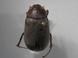 (Phyllophaga rugipennis - INBIOCRI000413512)  @13 [ ] Copyright (2010) A. Solis Instituto Nacional de Biodiversidad