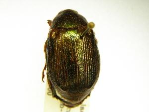 (Rutelinae - INBIOCRI000504104)  @16 [ ] Copyright (2012) A. Solis Instituto Nacional de Biodiversidad
