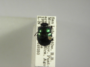 (Canthon vazquezae - INBIOCRI000754748)  @11 [ ] Copyright (2010) A. Solis Instituto Nacional de Biodiversidad