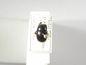 (Ateuchus ginae - INBIOCRI001000263)  @11 [ ] Copyright (2010) A. Solis Instituto Nacional de Biodiversidad