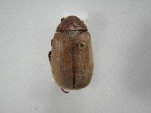 (Phyllophaga morgani - INBIOCRI001007610)  @15 [ ] Copyright (2010) A. Solis Instituto Nacional de Biodiversidad
