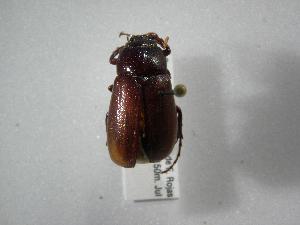 (Phyllophaga nevermanni - INBIOCRI001699574)  @11 [ ] Copyright (2010) A. Solis Instituto Nacional de Biodiversidad
