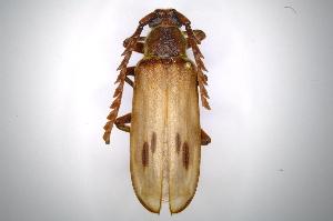 (Cerambycidae - INBIOCRI001728598)  @17 [ ] Copyright (2012) A. Solis Instituto Nacional de Biodiversidad