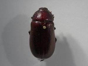 (Phyllophaga schizorhinoides - INBIOCRI001750524)  @14 [ ] Copyright (2010) A. Sol's Instituto Nacional de Biodiversidad