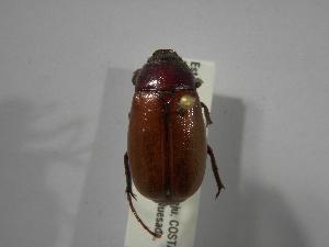 (Phyllophaga obsoleta - INBIOCRI001778097)  @14 [ ] Copyright (2010) A. Solis Instituto Nacional de Biodiversidad