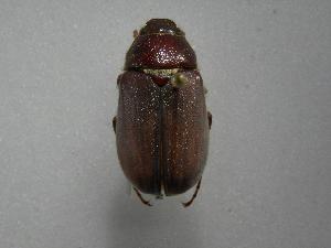 (Phyllophaga monteverdosa - INBIOCRI001780660)  @11 [ ] Copyright (2010) A. Solis Instituto Nacional de Biodiversidad