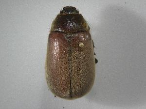 (Phyllophaga nevermannea - INBIOCRI001780675)  @11 [ ] Copyright (2010) A. Solis Instituto Nacional de Biodiversidad