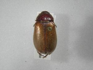 (Phyllophaga morganellaAS4 - INBIOCRI001805596)  @11 [ ] Copyright (2010) A. Solis Instituto Nacional de Biodiversidad