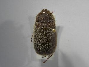 (Phyllophaga setidorsis - INBIOCRI001857853)  @11 [ ] Copyright (2010) A. Solis Instituto Nacional de Biodiversidad