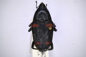 (Dryophthoridae - INBIOCRI001947312)  @16 [ ] Copyright (2012) Angel Solis Instituto Nacional de Biodiversidad