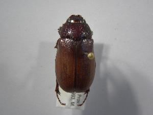 (Phyllophaga puntarenosaAS2 - INBIOCRI001985654)  @11 [ ] Copyright (2010) A. Solis Instituto Nacional de Biodiversidad