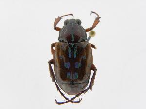(Dialithus - INBIOCRI002046866)  @14 [ ] Copyright (2010) A. Solis Instituto Nacional de Biodiversidad