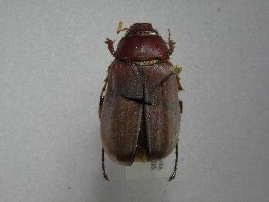 (Phyllophaga laeviscutata - INBIOCRI002200167)  @13 [ ] Copyright (2010) A. Solis Instituto Nacional de Biodiversidad