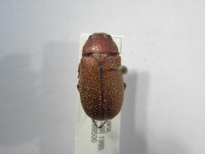(Phyllophaga tegenara - INBIOCRI002201987)  @13 [ ] Copyright (2010) A. Sol's Instituto Nacional de Biodiversidad