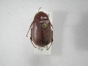(Phyllophaga crena - INBIOCRI002251601)  @11 [ ] Copyright (2010) A. Solis Instituto Nacional de Biodiversidad
