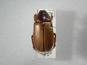 (Phyllophaga personata - INBIOCRI002357498)  @11 [ ] Copyright (2010) A. Solis Instituto Nacional de Biodiversidad